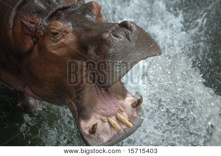hippopotamus is drinking water at khao kheow open zoo poster