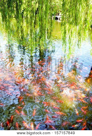 Willow and goldfish pond in park environment.