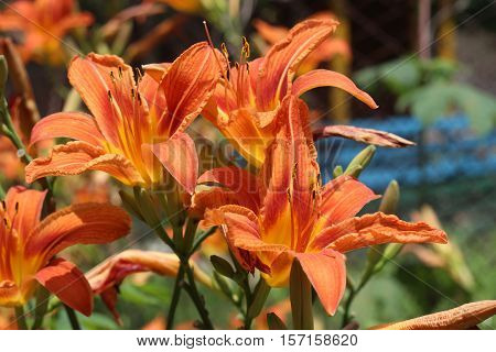Tiger orange lily in the garden on spring
