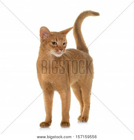 Abyssinian cat in front of white background