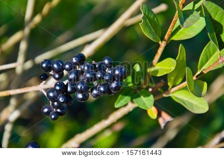 Berries of common privet (Ligustrum vulgare) on autumn