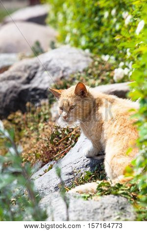 Brown cat sitting at stone garden near a hedge and looking back