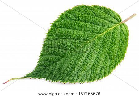 Green Raspberry Leaf Isolated On White