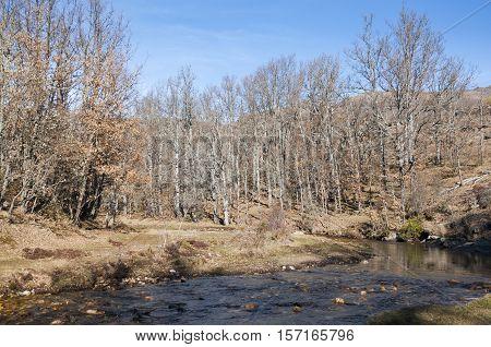 Oak (Quercus pyrenaica) forest next to Jarama River La Hiruela Madrid Spain.