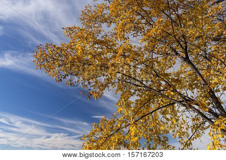 A tree with yellow leaves against the sky in autumn.