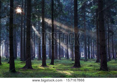 sunbeams in dark coniferous forest, Drenthe, Netherlands