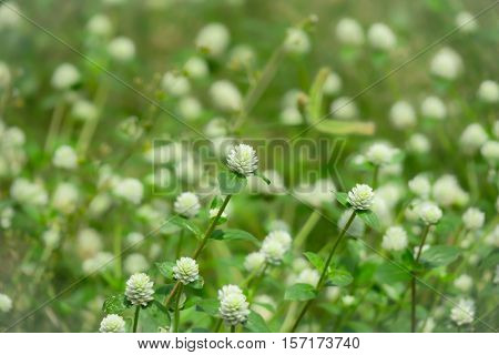 Grass flowers field blur background. Little white grass flower blur background
