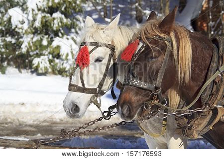 Pair of horses white and brown in harness and red brushes stands on a leash on a winter background