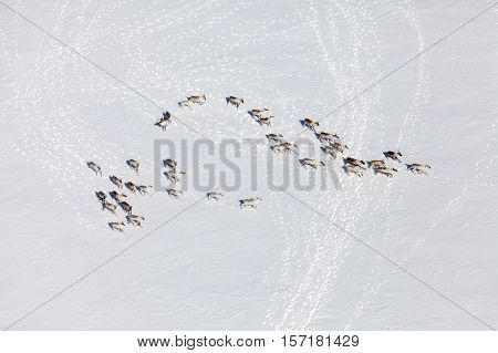 Aerial view of herd of reindeer which ran on snow in tundra.