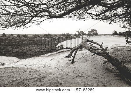 Curved pine tree on sand dune Drenthe Netherlands
