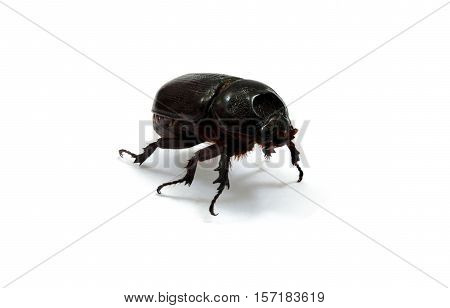 Female rhino beetle on white background. Also known as Hercules beetle Unicorn beetle horn beetles.
