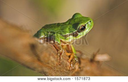 Little Green Frog.