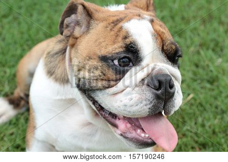 English Bulldog laying down resting and lovely