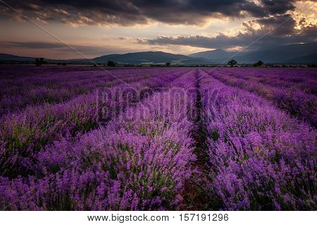 Cloudy sunset at lavender field, near the town of Kazanlak, Bulgaria