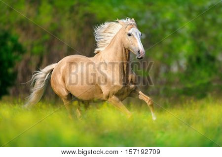Palomino horse with long blond mane run on pasture