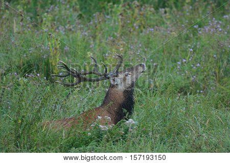 red deer animals wildlife nature photo hunting