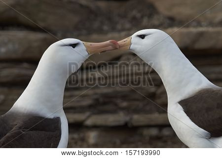 Pair of Black-browed Albatross (Thalassarche melanophrys) courting on the cliffs of Saunders Island in the Falkland Islands.
