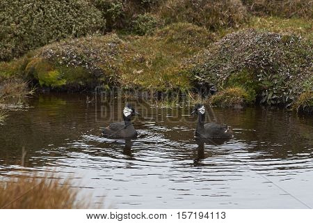 Pair of White-tufted Grebe (Rollandia rolland rolland) on a fresh water pond on Saunders Island in the Falkland Islands.