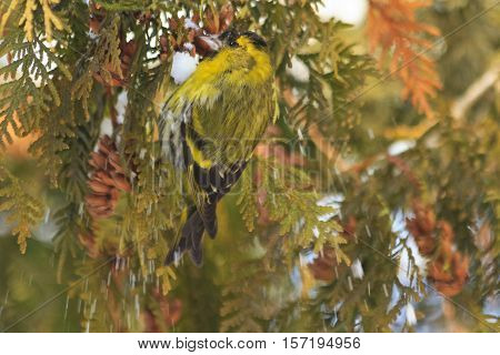 Eurasian siskin sitting on a snow-covered branches arborvitae, forest birds, birds in forest birds on fir, winter, snow