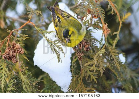 Eurasian siskin, sitting on a snow-covered fir branches , forest birds, birds in forest birds on fir