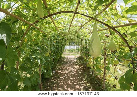 Wax gourd in green vegetable garden/ wax gourd  in Plantation