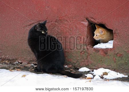 Two homeless cat. Ginger cat peeking into the hole from the basement of the old house. Sitting next to a large black cat.