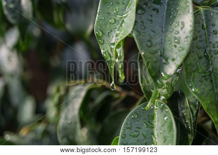 close-up raindrop falling on green leaf of Ficus benjamina raindrops in detail