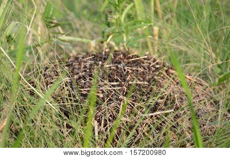 Big anthill in the forest grass ! Life boils !