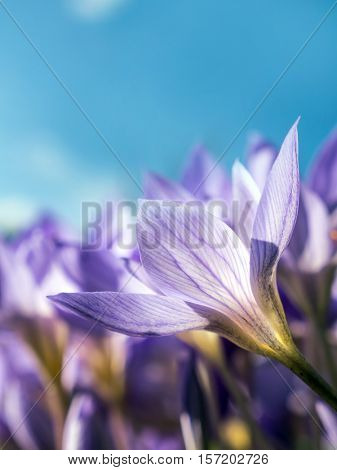 Colchicum autumnale, commonly known as autumn crocus, meadow saffron or naked lady