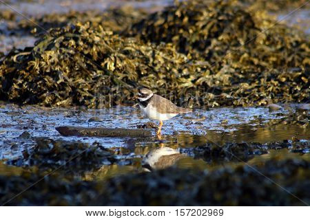 A Ringed Plover reflected in water at low tide