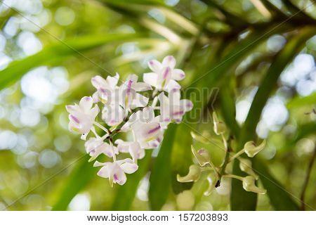 Orchid : Aerides Odorata Lour.