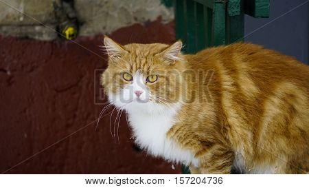Red White Cat, Yard Cat, Sick Cat, Cat On The Fence