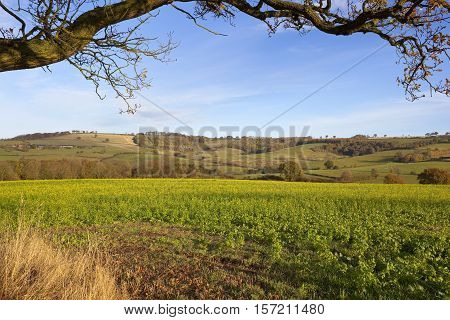 Oak Branch Over Mustard Crop