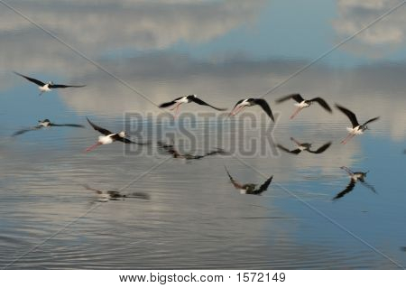 Flock Of Black Winged Stilts