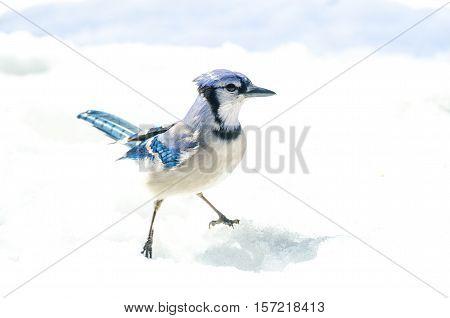 Blue Jay with attitude (Cyanocitta cristata) handsome specimen, straddle, standing akimbo alertly in crystal snow.