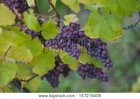Gewurztraminer grape bunches on the fall Alsace vendange time France