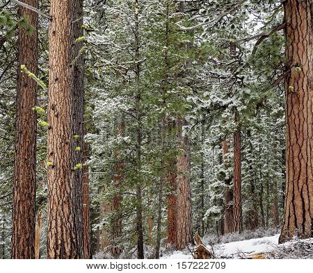 Ponderosa Pines covered in snow in Oregon's Mt. Jefferson Wilderness on a winter day.