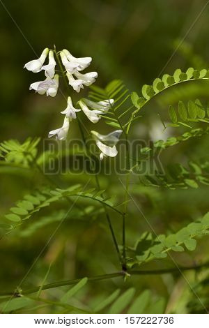vetch inflorescence (Vicia sylvatica) on blurred background
