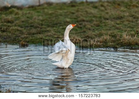 White goose is bathed in a puddle on a meadow
