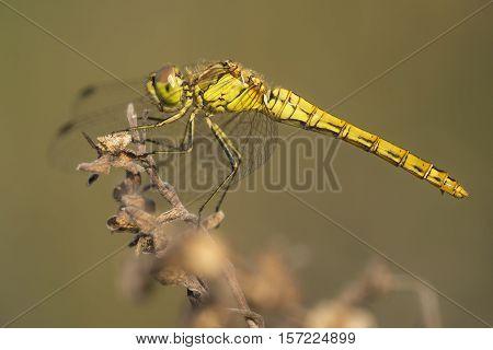 Vagrant Darter (Sympetrum vulgatum) female resting on a Twig