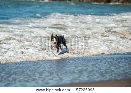 Energetic black and white Australian Shepard dog splashing through the beach surf looking right.