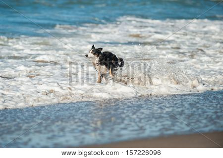 Energetic black and white Australian Shepard dog splashing through the beach surf.