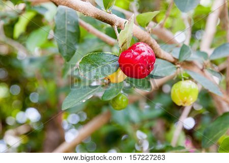 Barbados cherry (Malpighia glabra L.) fresh in garden