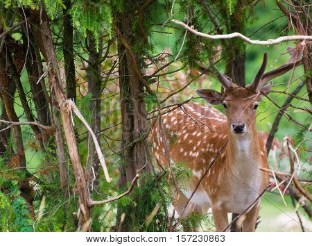 Fallow Deer Near at The Edge of Forest. Fallow Deer Hide in Trees.