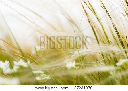Stipa or Feather Grass with White Flowers in Windy Weather