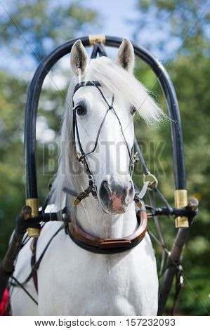 Portrait of gray traditional russian carriage driving horse outdoor