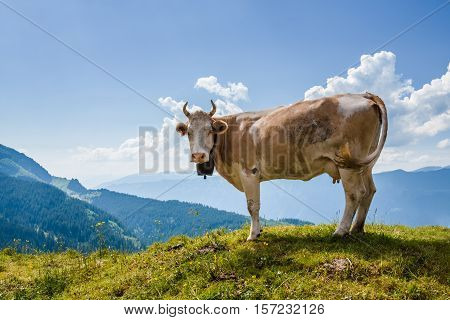 Cow Looking At Camera In Swiss Alps Near Bachsee