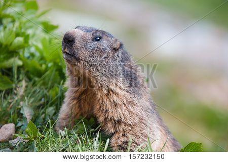 Detail Of Marmotte In Grass, Switzerland Alps