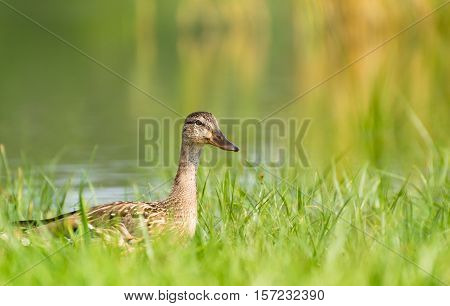 Duck Walking on Ashore in The Grass Near The Lake