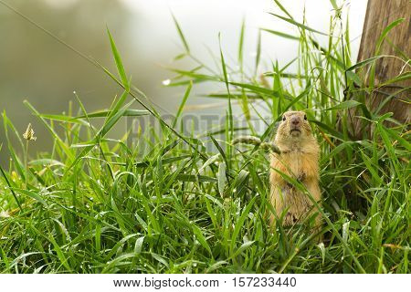 Soaked Ground Squirrel Standing in The Dewy Grass